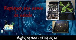 Repiquer ses semis de salade