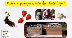 Fraisiers - pourquoi acheter des plants frigo
