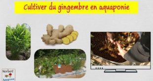 Cultiver du gingembre en aquaponie