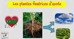Les plantes fixatrices d'azote (légumineuses)